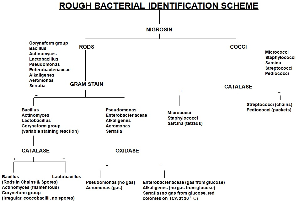The identification of bacteria frequently found in dairy industry